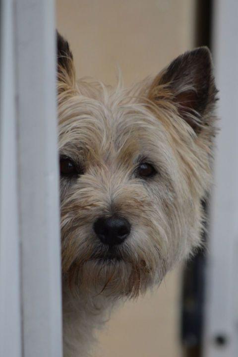The 25+ best Hypoallergenic dog breed ideas on Pinterest ...