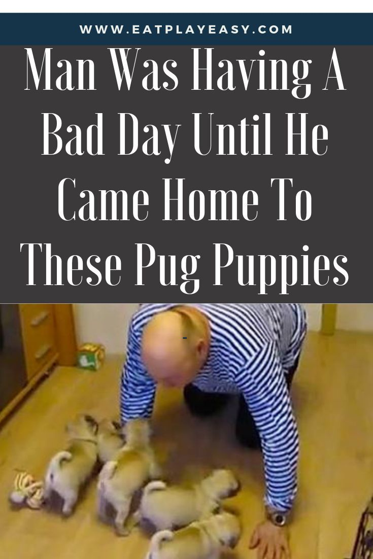 I Would Love To Walk Into A Room And Have This Happen These Pug