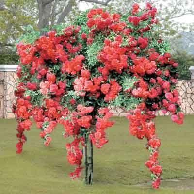 Weeping Red Rose Tree