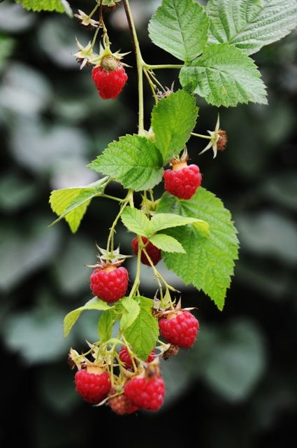 Growing Red Raspberries, blueberries currants, grapes, strawberries and more