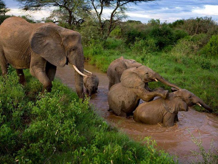 Samburu Elephants, Kenya by Michael Nichols / to @2OCT2014 @swami2005 @fadeeva9 @lcs1122 @be12th