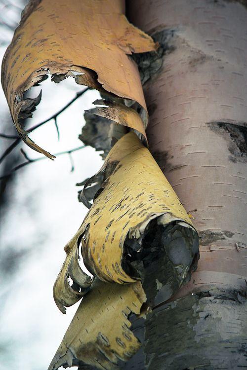 Bark peeling on вirch tree.