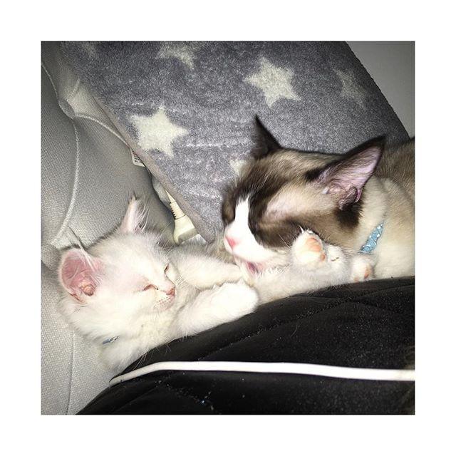 癒しでしかない♡ #ラグドール #ラグドール部 #ラグドールえる #ラグドールエル #ラガマフィン #ラガマフィン部 #ラガマフィンいぶ #ラガマフィンイブ #仔猫 #子猫 #にゃんこ #にゃんこ部 #家猫 #にゃんにゃん #猫 #癒し #ねこスタグラム #cat #ragdoll  #ragamuffin #家猫 #えるちゃん #えるにゃん #猫様 #愛猫 #愛猫家 #猫好き #ねこさま #ねこ #家族 #多頭飼い