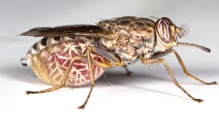 The most dangerous species around the globe | Worldation  TseTse Fly - feeds on other animal's blood, similar to a mosquito. Iit's not the actual bite that is harmful to humans, but rather the parasite that the Tsetse fly spreads, which is known as Trypanosomes. Trypanosomes is one of the direct causes for a disease known as African Sleeping Sickness, which can lead to changes in behavior, sleeping issues, coordination issues and even death. The Tsetse fly is found in Sub-Saharan Africa