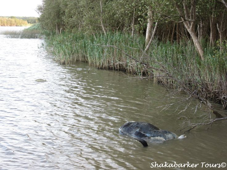 The buffalo carcass is now afloat. Crocs are guarding it. Getting ready for a feast.