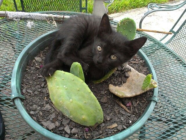 Cat Trying To Eat Cactus