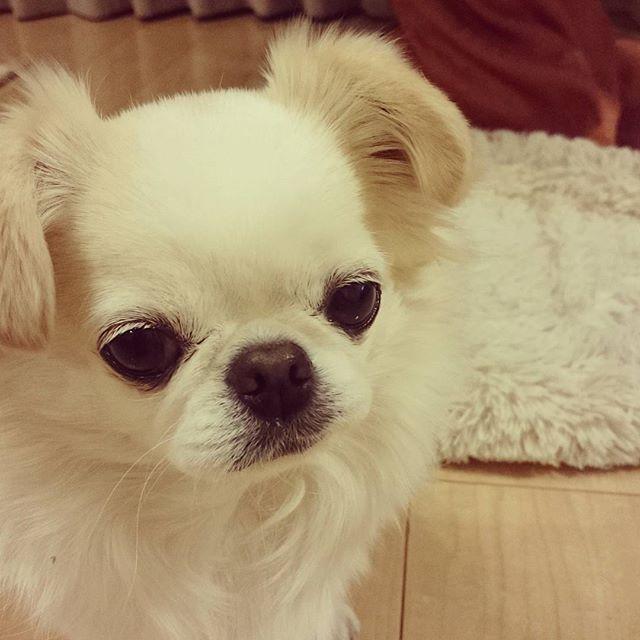 #シリアス#わんこ#犬#愛犬#ミックス犬#ペキニーズ#チワワ#ペキニーズミックス#チワワミックス#ふわふわ#はなぺちゃ#しろふわ#眠い#dog#doglove#doggy#ilovemydog #doginstagram#goodstagram #instagram#doglife#dogsofinstagram