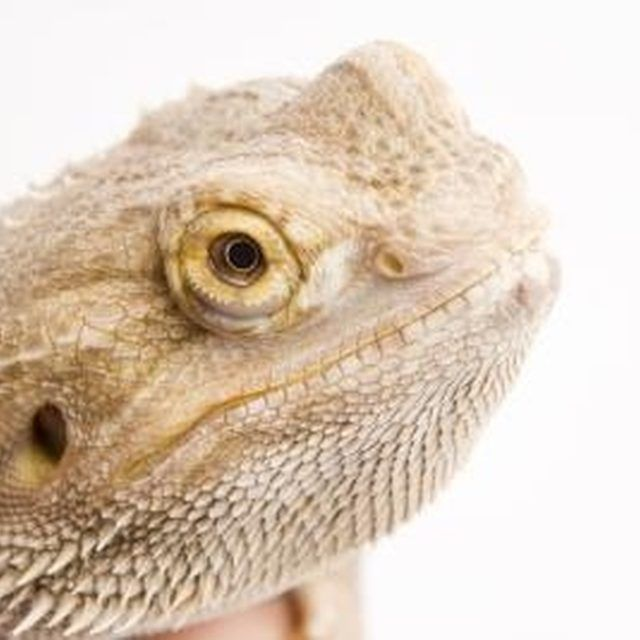 Bearded dragons are very social creatures.