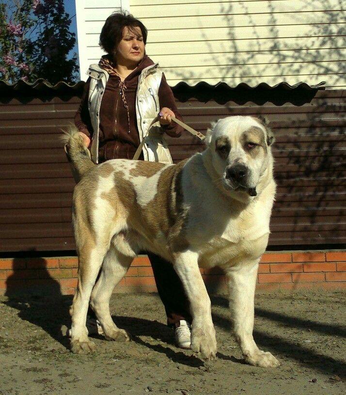 asian ovcharka puppies