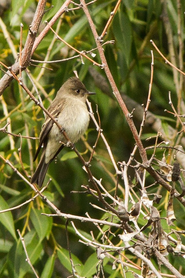Western Wood-Pewee ©Neal Zaun. Wild Bird Center of Boulder, CO Saturday Morning Bird Walk in Boulder County - September 13, 2014.