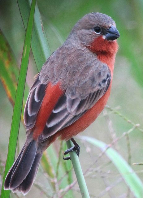 Sporophila minuta / Ruddy-breasted Seedeater. Mexico, Central America, and eastern South America to Brazil. Tanager Family