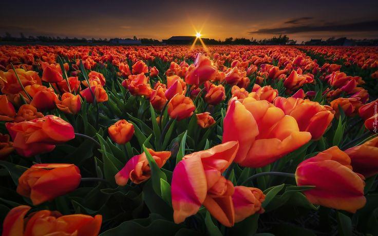 Pole, Tulipany, Zachód Słońca