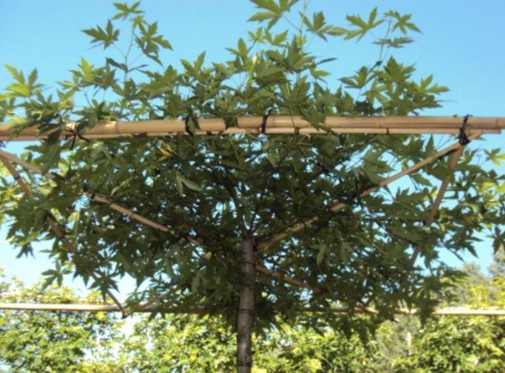Liquidambar styraciflua Worplesdon. Favourite plant of Boomkwekerij Maarten van Overbeek.