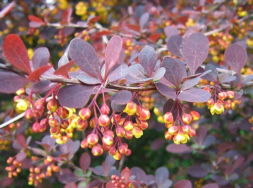 Барбарис «Пурпуреа» («Purpurea») – в высота растение достигает 2 м. Цветки желто-красные, листья имеют темно-пурпурный оттенок.