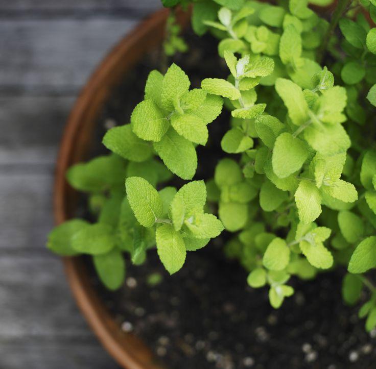 Qual a melhor combinação de ervas para plantar em um mesmo vaso