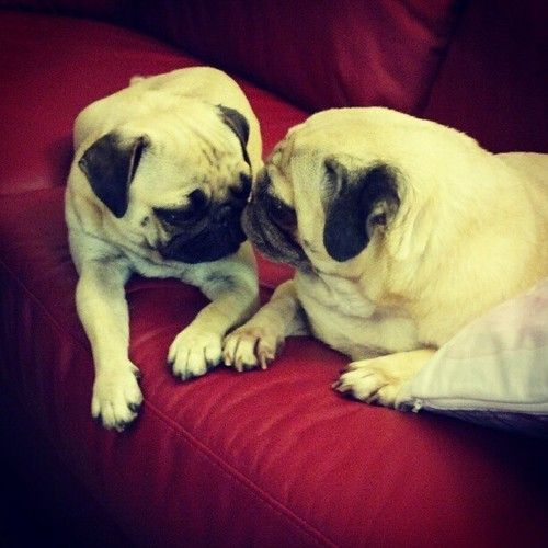 Pugs and kisses! <3 Sunny & Rosy