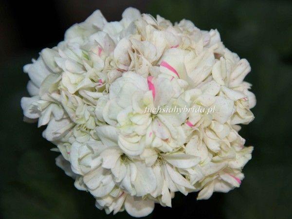 http://www.fuchsiahybrida.pl/sklep/pelargonia_dwerg/pelargonia_jacqui_caws