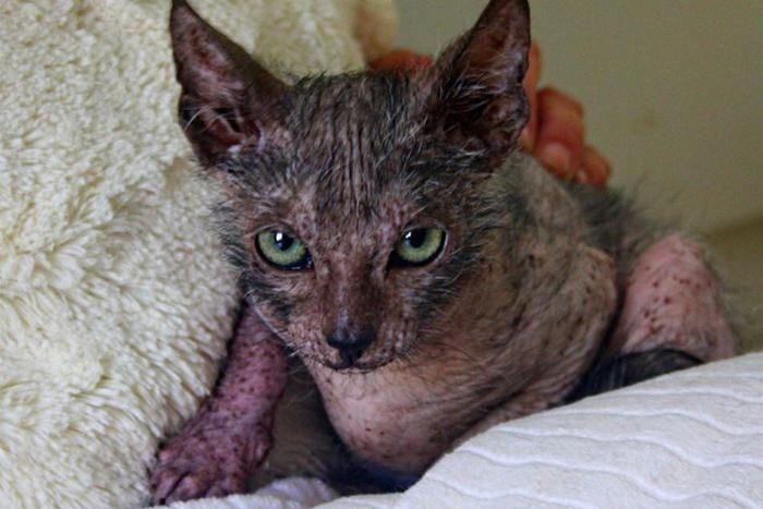 """Una gatta randagia partorisce un Lykoi, il """"Gatto Lupo"""""""