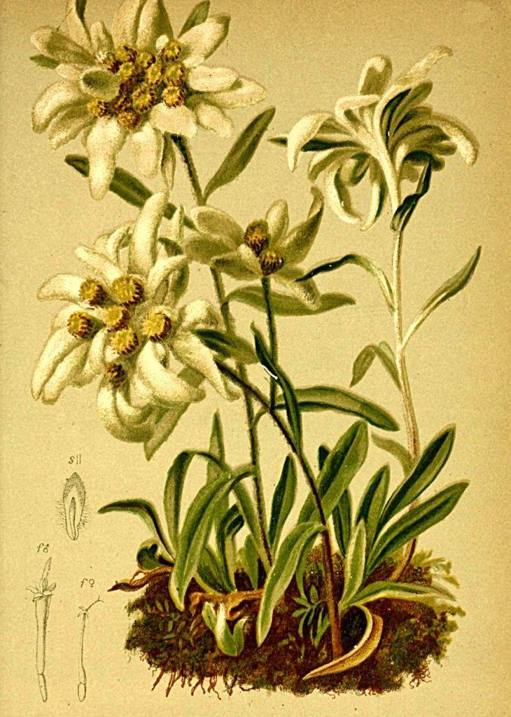 gnaphalium_leontopodium_atlas_alpenflora-1882-hartinger-anton-b-1806-dalla-torre-k-w-von-karl-wilhelm-1850-1928.jpg 730×1'024 pixels