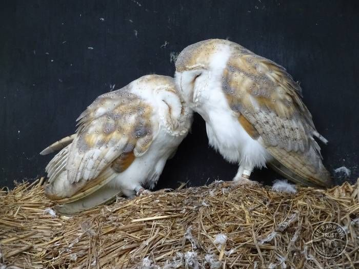 12 Best Barn Owl Heaven Llp Images On Pinterest Barn