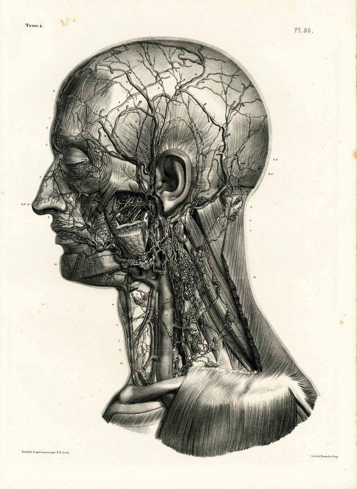 1836 Vaisseaux Ganglions lymphatiques cou Anatomie Tête Homme, Planche originale Anatomie Humaine de la boutique sofrenchvintage sur Etsy