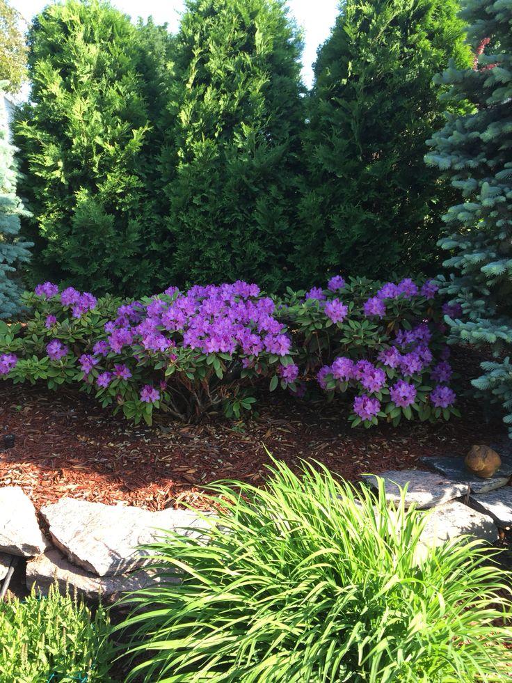 Best 25 arborvitae landscaping ideas on pinterest for Green plants for landscaping