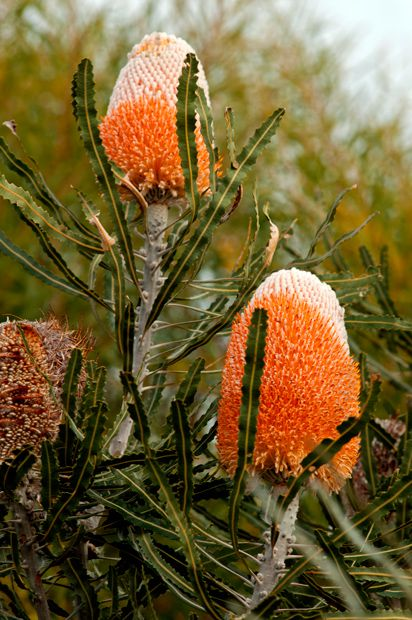 Wildflowers of Western Australia - Australian Geographic..Banksia