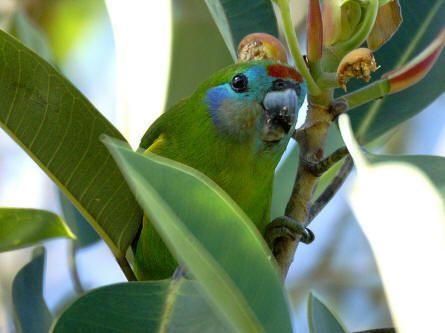 Australische parkieten en papegaaien documentaire - Vogelplein BE-NL
