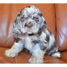 merle cocker spaniel for sale - Bing Images