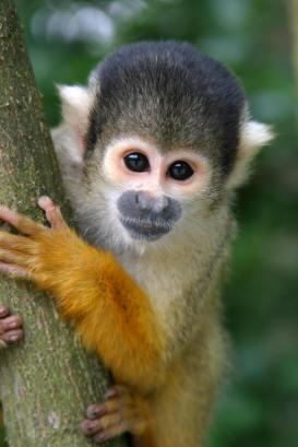 New England Primate Sanctuary: Animals | Monkeys | Squirrel Monkey