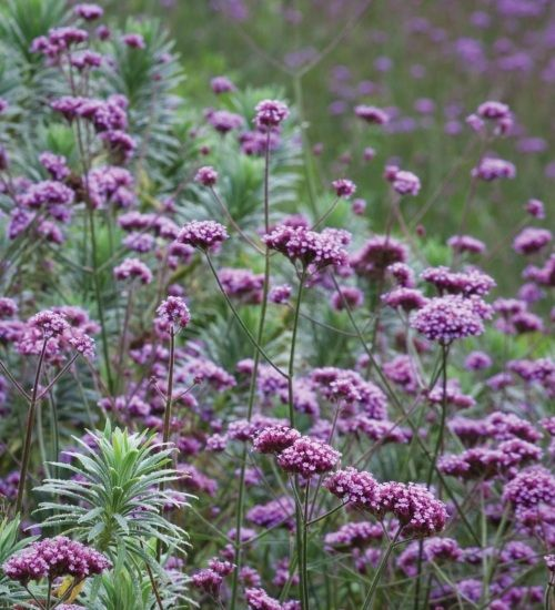 Verbena bonariensis is a tall and elegant summer-flowering plant which will add stature and structure to your cutting patch or border.