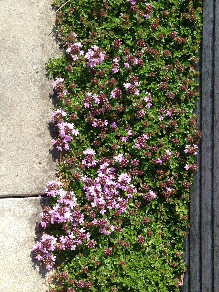 Rand opvullen met kruiptijm! Drachtplant voor bijen.