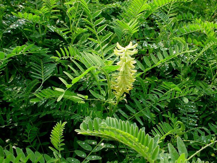 Plante indigène de culture facile qui ressemble au lupin.  Ses épis de fleurs crème peuvent atteindre 90 cm.  Son feuillage découpé est très abondant. Cette espèce convient aux sols bien drainés. Idéal pour l'aménagement de rocailles.