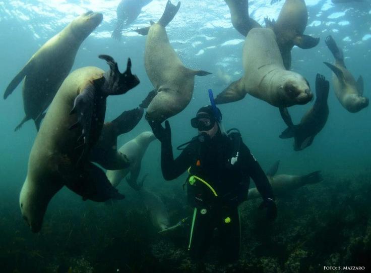 Curiosos y amigables, los lobos marinos resultan agradables compañeros de aventuras submarinas.    ¿Te gustaría estar ahí? Hacelo realidad en Chubut.