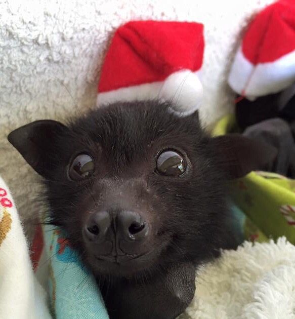Rescued baby bat Talli loves her Santa hat
