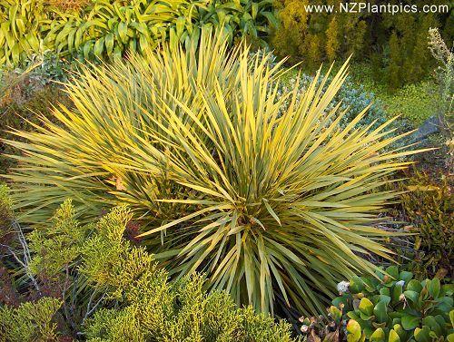 aciphylla_aurea_small_10.jpg (500×377)