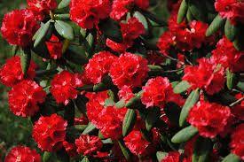 Image result for rhododendron cornubia