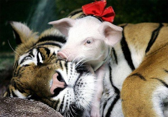cute pig sleeping with a tiger