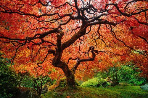 Клён дланевидный (Japanese maple)