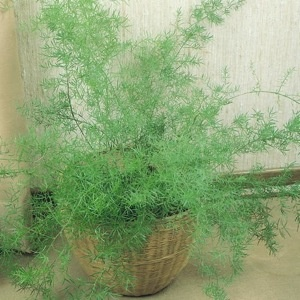 """Asparagus fern seeds at Swallowtail Garden Seeds. $3.25 for 50 seeds. """"This tough, easy to grow elegant plant produces 3-6 foot long arching stems covered with dark green needlelike foliage. Excellent in containers, it makes an outstanding house or summer patio plant and looks terrific cascading from hanging baskets. In climates where winter temperatures remain above 24° F., it can be used as an attractive billowing ground cover in partly shaded areas. Grows to 2 feet tall."""" Poisonous!!!"""