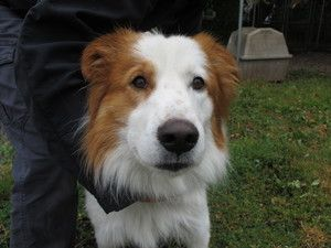 Murphy is an adoptable Collie Dog in Vancouver, BC. Murphy is a young adult who is dreaming of his forever home! He came from up north after being in foster for a few weeks. He had a broken toe that h...