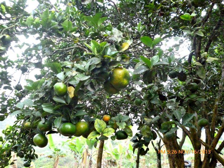 Arbol de mandarina - Finca Santa Marta