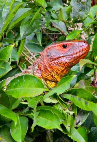 Caiman Lizard    The Peruvian Amazon: Sloths, Toucans and Pink Amazon River Dolphin  www.greenglobaltravel.com