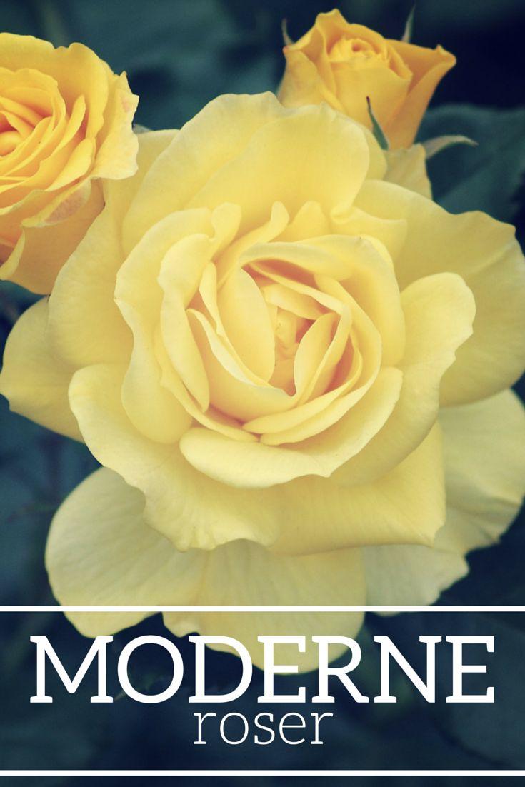 Moderne roser. #rose #roser #roses #rosa #nye #ny #haverose #haveroser #garden #pasning #plantoramadk