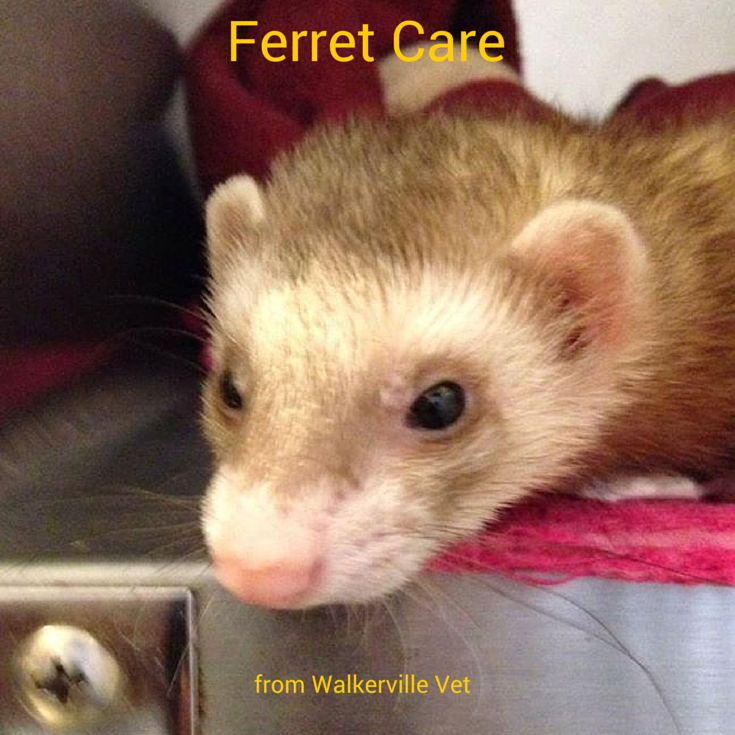 Ferrets are a LOT of fun. They make great pets and our care guide can help.