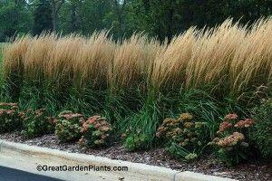 Ornamental Grass for Privacy screen