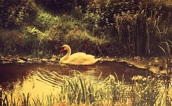 Swan at the Golden Lake by Jenny Rainbow. #JennyRainbowFineArtPhotography #WallArt #HomeDecor #IdeasForHome #Canvas #FineArtPrints #ZenRetreat #Dreamland #Healing Art #Zen #Swan #Lake #Serenity #FineArtPhotography #JennyRainbow #Holland #FineArt #Golden