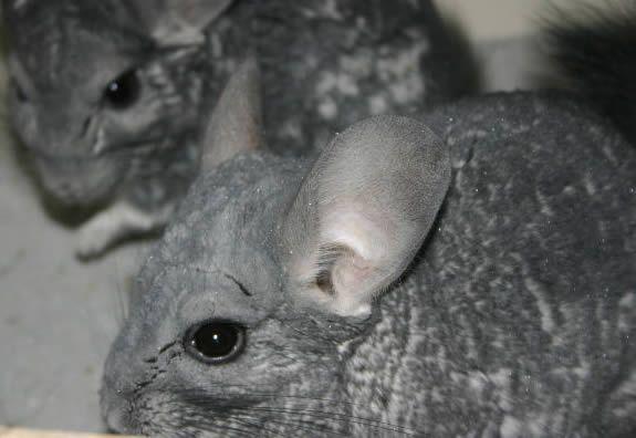 Critères pour choisir le bon chinchilla - Blog des Animaux de compagnie http://www.animalcompagnie.com/criteres-pour-choisir-le-bon-chinchilla.html