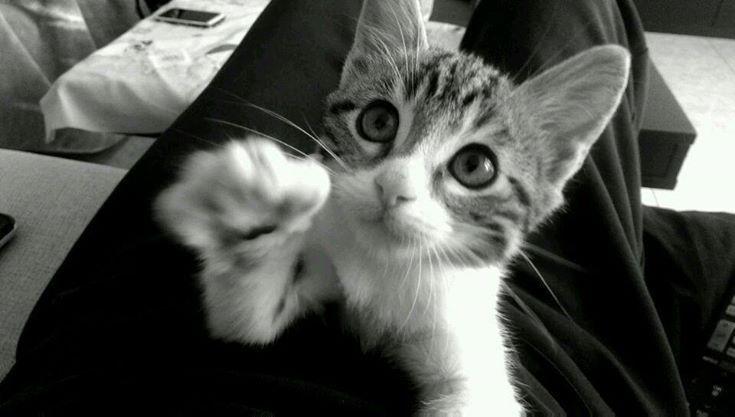Negu, gato en adopción en Madrid (España) cpa.torrejon@hoope.org