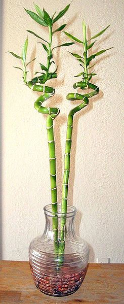 Spiral green Lucky Bamboo plant